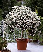 Agryanthemum frutescens, marguerite