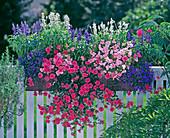 Salvia farinacea 'Porcelain', Verbena 'Cleopatra', Impatiens