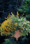 Helichrysum ramosissimum 'Baby Gold'