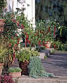 Peperonia, Thymus X citriodorus, Artemisia