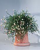 Erigeron karvinskianus 'Blütenmeer', Spanish Daisy