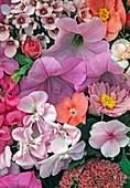 Pelargonium, Petunia, Impatiens, Diascia