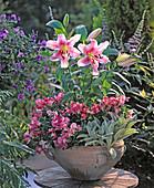 Lilium hybrids, Antirrhinum majus, Stachys