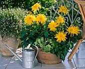 Dahlia hybrids
