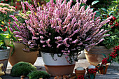 Calluna vulgaris (broom heath)