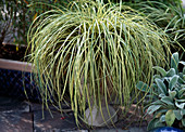 Carex hachijoensis (ornamental grass)