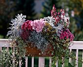 Senecio, Calocephalus, Chrysanthemum indicum, Hedera, Erika