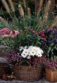Autumn-planted basket, Chrysanthemum (autumn chrysanthemum)