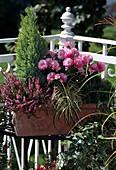 Chamaecyparis, Calluna vulgaris, Dendranthema indicum, Carex hachijoensis, Pinus