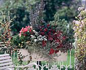 Pinus mugo 'Pumilio', Begonia semperflorens, Berberis