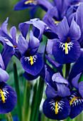 Iris reticulata