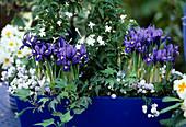 Iris reticulata and Campanula in flower box