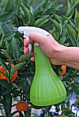 Spraying citrus leaves with iron fertilizer