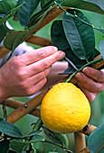 Citrus 'limon X paradisii' at the trellis