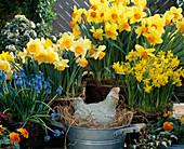 Narcissus 'Tete A Tete', 'Fortissmo',
