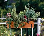 Juniperus communis, Juniperus repandens, Chamaecyparis