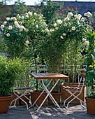 High stem Rose 'Snow White', Sinarundinaria