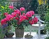 Rhododendron hybrid 'Anna Rose Whitney'