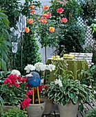 Stem rose, shrub rose