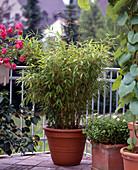 Sinarundinaria murielae (garden bamboo)