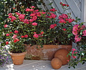 Patio roses and dwarf rose