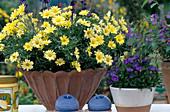 Argyranthemum frutescens 'Butterfly'