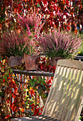 Calluna vulgaris (broom heath), Erica gracilis as a stem