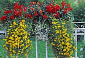 Salvia splendens (sage), Bidens ferulifolia