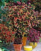 Coleus blumei hybrid, series 'Colourdance'