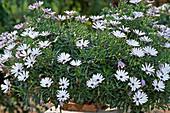 Osteospermum 'Sunny Gustaf'