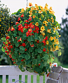 Tropaeolum majus (nasturtium)