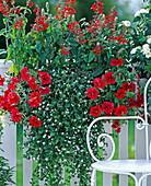 Salvia coccinea 'Lady in Red' (sage), Petunia