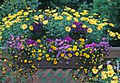 Argyranthemum 'Butterfly', Brachyscome