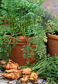 Carrots in the pot