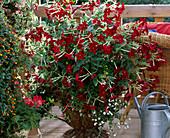 Nicotiana sanderae 'Vip red'