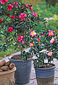 Camellia sasanqua 'Navaja', 'Plantation pink'