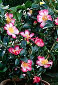 Camellia Sasanqua 'Navaja',