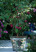 Eugenia paniculata