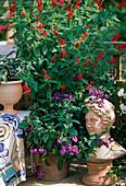Salvia rutilans, Heliotropium aborescens