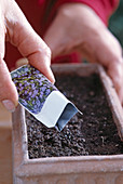Sowing biennial myosotis (forget-me-not)