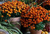 Dendranthema 'Garden Mums', autumn chrysanthemum
