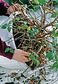 Cut back and repot the fuchsia flower basket in spring
