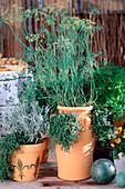 Helichrysum angustifolia (curry herb)
