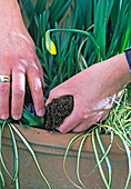 Plant the shell with the spring onions