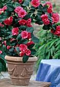 Camellia hybrid 'Coquettii'
