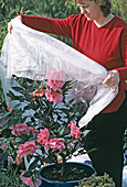 Protect Camellia from late frosts
