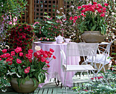Terrace with tulips 'Rosario', Azalea hybrid