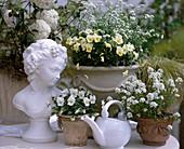 Viburnum, Viola cornuta 'Penny Primrose'