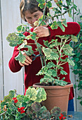 Cut back the overgrown leaf geranium