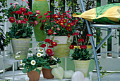 Bellis perennis 'Galaxy' red and white, 'Ruby Elf' red